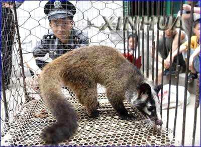 """这是国产的果子狸,送给大山同学作鉴别。 可查阅国外动物词典及""""Paguma larvata""""一词,看是不是与你捕捉的动物同类?"""
